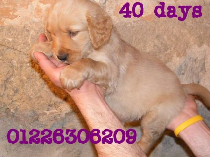 golden retriever puppies awesome 35 days