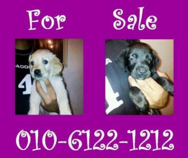 For sale last 3 puppy\'s Labrador 45 day\'s for inf.pleas call 010