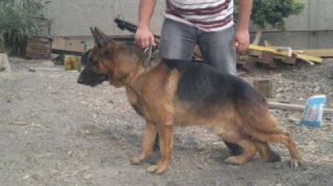 Male GSD 5 month old ,son of Carlos for sale , 0122 500 65 94 —