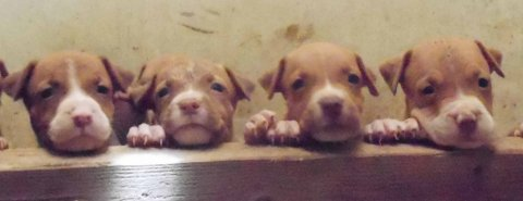 Dusty X Baty RedNose PittBulls Puppies For Sale