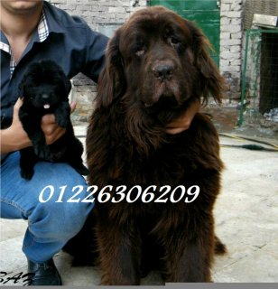 ****  newfoundland puppies imported parents 01226306209****