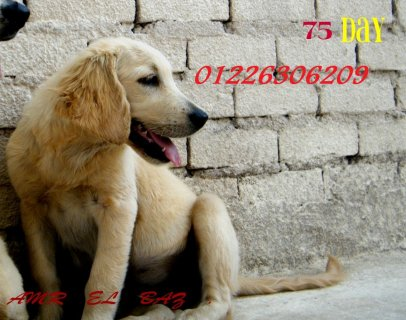golden retriever puppies 4 sale 80 days01226306209
