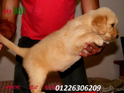 golden retriever puppies 4 sale from 30 days to 50 days
