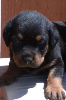 male rotti 45 day old only one remaining