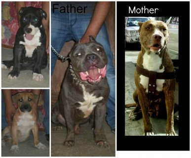 for sale  pittbull pully puppies