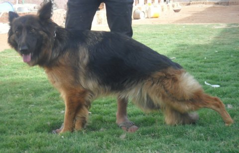 صور for sale ... one of the best German shepherd  females in Egypt  2