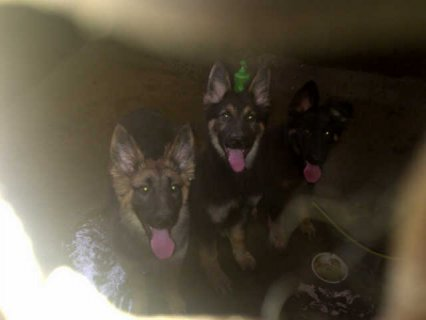 German Shephered puppies for sale.