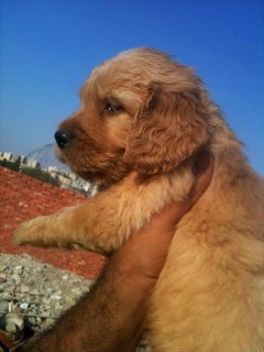 B a d a w a y. Golden Retriever puppies for sale