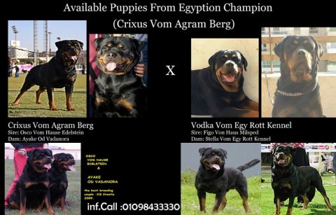 Available puppies 55 days from Egyptian champion crixus .