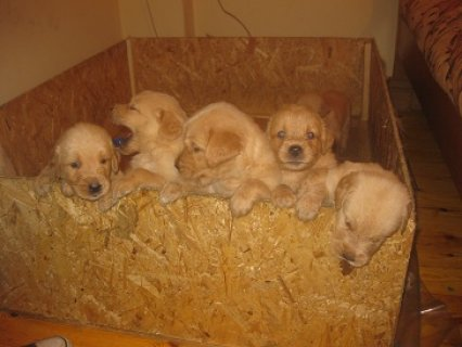 صور golden retriever puppies for sale more info call 01271364365 2
