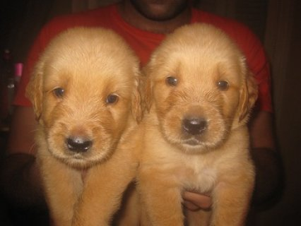 صور $golden retriever puppies for sale more info call 01271364365 3