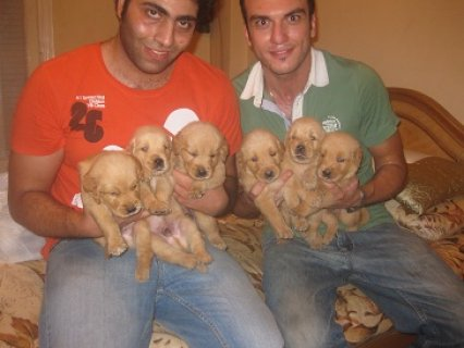صور golden retriever puppies for sale more info call 01271364365 4