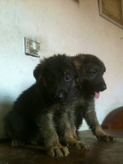 German shepherd puppies for saling