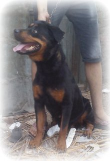 for sale female rott with agood price