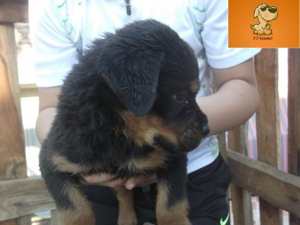 Rott puppies for sale 45 days