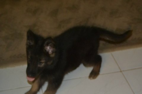 صور female german shepherd 80 days vaccinated for sale 1