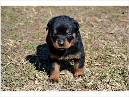 Champion Rottweiler ChristmasPuppies