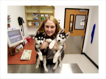 Male and Female Siberian Husky mixed Puppies