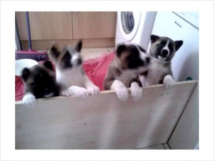 Show quality Pedigree America Akita puppies ready now