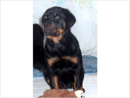 Ginny the Rottweiler Super puppy