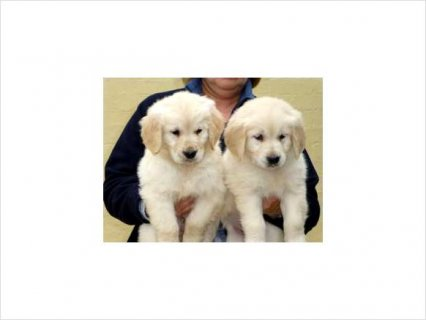 Fairly shy 2 Golden Retriever Pups Ready To Go Now.