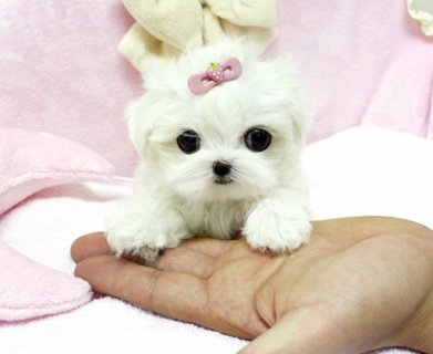 Adorable Tea cup Maltese Male and Female for loving homes