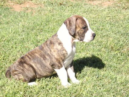 American Pit Bull for sale