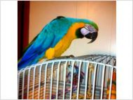 Adorable Blue and Gold Macaw for sale