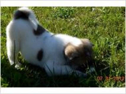 Adorable   male and female Akita puppies for adoption