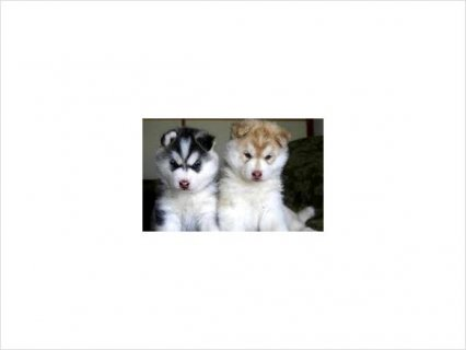 Male and femalesiberian husky puppies for adoption