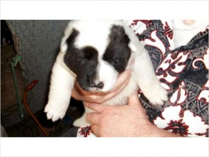 Akita Puppies-2 Males, 1 Female