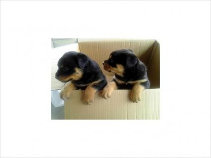 Rottweiler puppies contact use