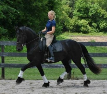frisian horse for sale