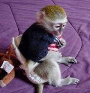 2 Brilliant Lovely Potty Tamed Capuchin Baby Monkeys For Your Fa