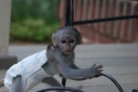 Capuchin monkey to give out for adoption