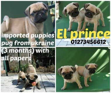 best puppies pug from ukraine