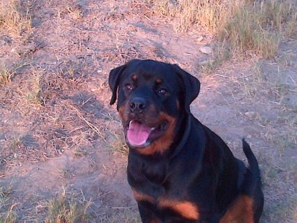 rottweiler for sale 7.5 months