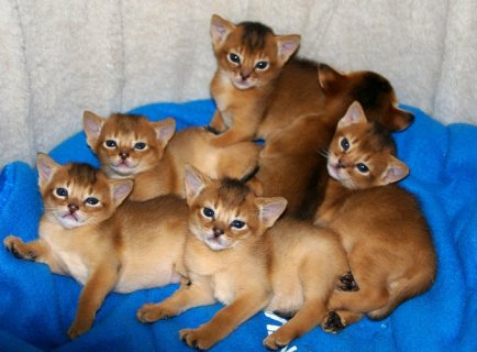 AAbyssinians