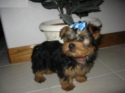 orgeous Male and Female Yorkshire Terrier puppies for adoptiong