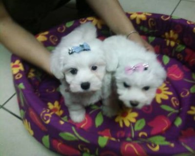 Teacup Maltese Puppies for Rehoming