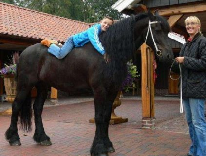 A Friesian For Sale