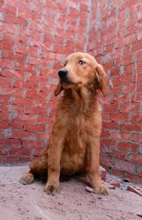 صور Golden retriever puppies female for sale  2