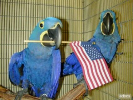 Cute and lovely Hyacinth macaw parrot for free Adoption