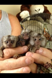 Marmoset Monkey Babies for sale