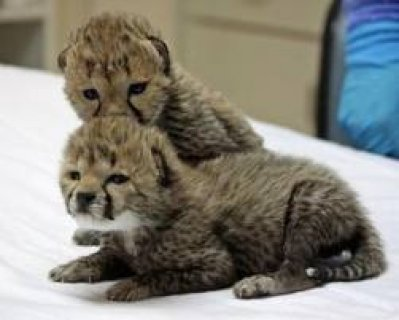 Taimed cheetah cubs lion tiger cubs for sale
