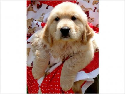 Golden Retriever Puppies For Sale1