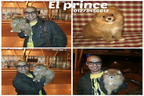 Surprise for small dog lovers puppies (pomeranian) at firist tim
