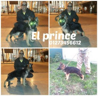 The best puppies(GSD )At the level of Egypt imported from ukrain
