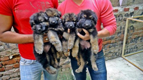 جراوي جيرمنGreat German Shepherd puppies for sale