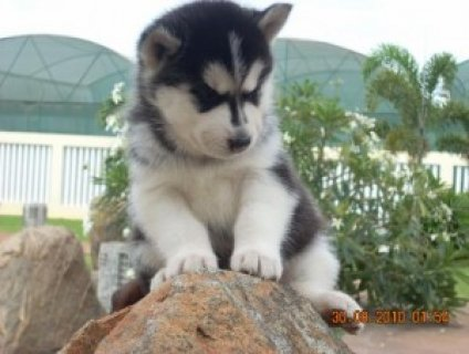 Siberian Husky Puppies for Free